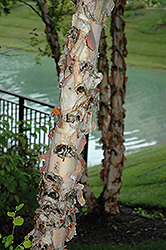 River Birch (Betula nigra) at Walton's Garden Center