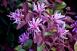 Ruby Chinese Fringeflower (Loropetalum chinense 'Ruby') at Walton's Garden Center
