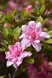 Encore® Autumn Carnation™ Azalea (Rhododendron 'Roblec') at Walton's Garden Center