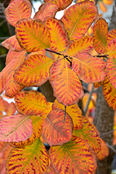 American Smoketree (Cotinus obovatus) at Walton's Garden Center