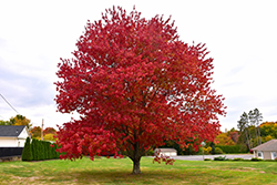 Red Maple (Acer rubrum) at Walton's Garden Center