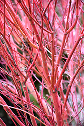 Coral Bark Japanese Maple (Acer palmatum 'Sango Kaku') at Walton's Garden Center