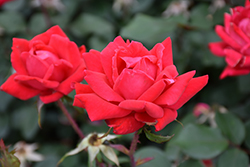 Double Knock Out® Rose (Rosa 'Radtko') at Walton's Garden Center