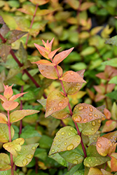 Twist of Lemon™ Glossy Abelia (Abelia x grandiflora 'Gretol') at Walton's Garden Center