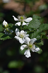 Natchez Thornless Blackberry (Rubus 'Natchez') at Walton's Garden Center